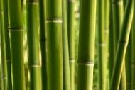 Fototapety NATURA bambusy 10395 mini