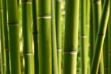 Fototapety NATURA bambusy 10395