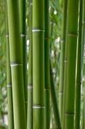 Fototapety NATURA bambusy 10396 mini