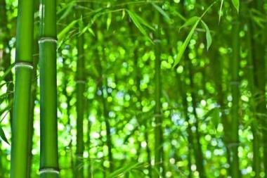 Fototapety NATURA bambusy 10398