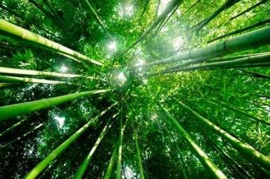 Fototapety NATURA bambusy 10404