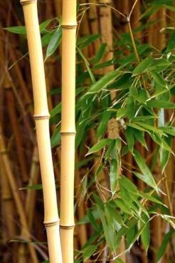 Fototapety NATURA bambusy 10406