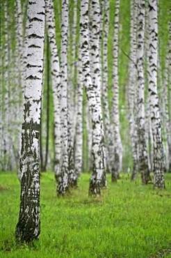 Fototapety NATURA drzewa 10408