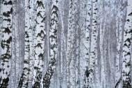 Fototapety NATURA drzewa 10409 mini