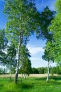 Fototapety NATURA drzewa 10410 mini