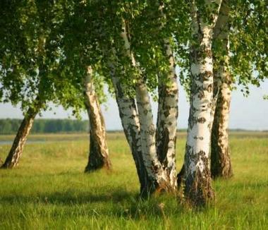 Fototapety NATURA drzewa 10415