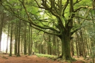 Fototapety NATURA drzewa 10425 mini