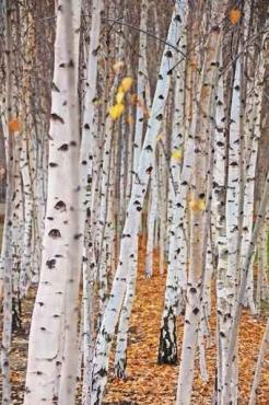 Fototapety NATURA drzewa 10430