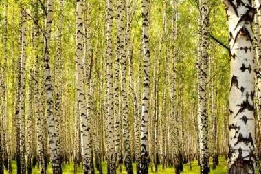 Fototapety NATURA drzewa 10440