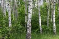 Fototapety NATURA drzewa 10442 mini