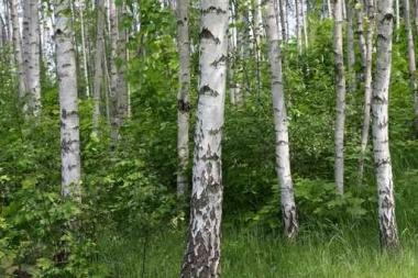 Fototapety NATURA drzewa 10442
