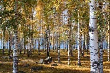 Fototapety NATURA drzewa 10454
