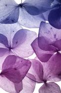 Fototapety KOLORY fiolet 12134 mini