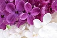Fototapety KOLORY fiolet 12164 mini
