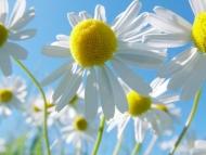 Fototapety KWIATY białe 2251 mini