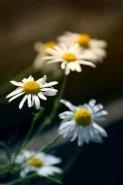 Fototapety KWIATY białe 2253 mini