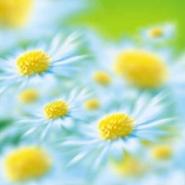 Fototapety KWIATY białe 2256 mini