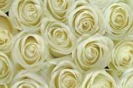 Fototapety KWIATY białe 2257 mini