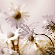 Fototapety KWIATY białe 2261 mini