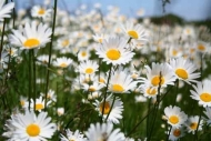 Fototapety KWIATY białe 2265 mini