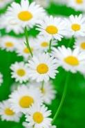 Fototapety KWIATY białe 2266 mini