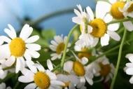 Fototapety KWIATY białe 2272 mini