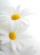 Fototapety KWIATY białe 2273 mini