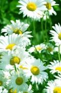 Fototapety KWIATY białe 2276 mini