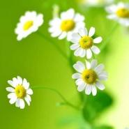Fototapety KWIATY białe 2277 mini