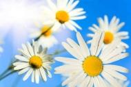 Fototapety KWIATY białe 2281 mini