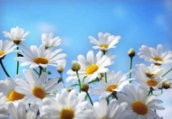 Fototapety KWIATY białe 2284 mini