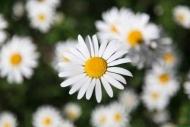 Fototapety KWIATY białe 2286 mini