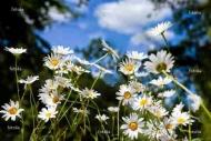 Fototapety KWIATY białe 2290 mini