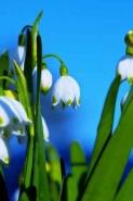Fototapety KWIATY białe 2292 mini