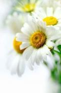 Fototapety KWIATY białe 2293 mini