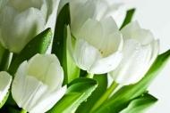 Fototapety KWIATY białe 2294 mini