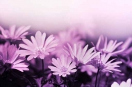 Fototapety KWIATY fioletowe 2370 mini