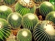 Fototapety KWIATY kaktusy 2396 mini