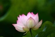 Fototapety KWIATY róż czerwień 2550 mini