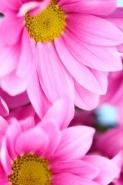 Fototapety KWIATY róż czerwień 2551 mini
