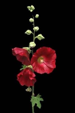 Fototapety KWIATY róż czerwień 2552
