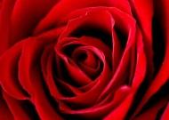 Fototapety KWIATY róż czerwień 2554 mini