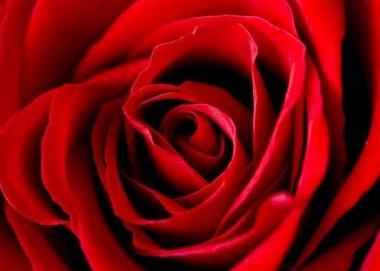 Fototapety KWIATY róż czerwień 2554