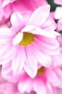 Fototapety KWIATY róż czerwień 2555 mini