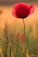 Fototapety KWIATY róż czerwień 2556 mini