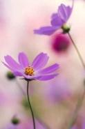 Fototapety KWIATY róż czerwień 2558 mini