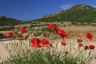 Fototapety KWIATY róż czerwień 2559 mini