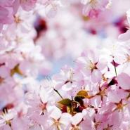 Fototapety KWIATY róż czerwień 2561 mini