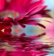 Fototapety KWIATY róż czerwień 2562 mini