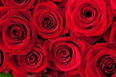 Fototapety KWIATY róż czerwień 2563